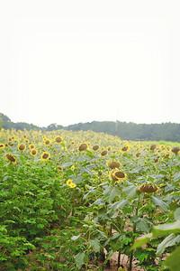 Sunflower0001