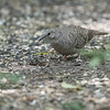 Inca Dove, Frontera Audubon