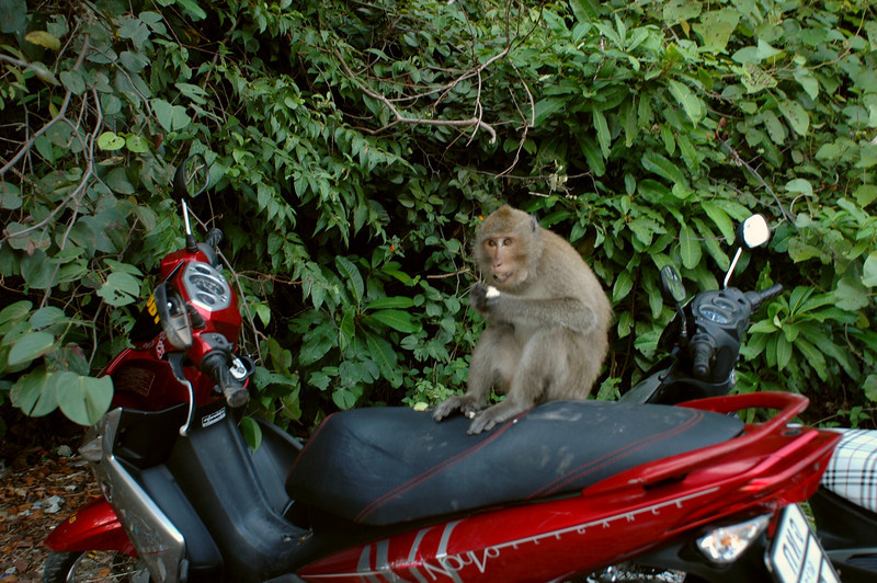 wild monkeys come down from the mountain for a snack