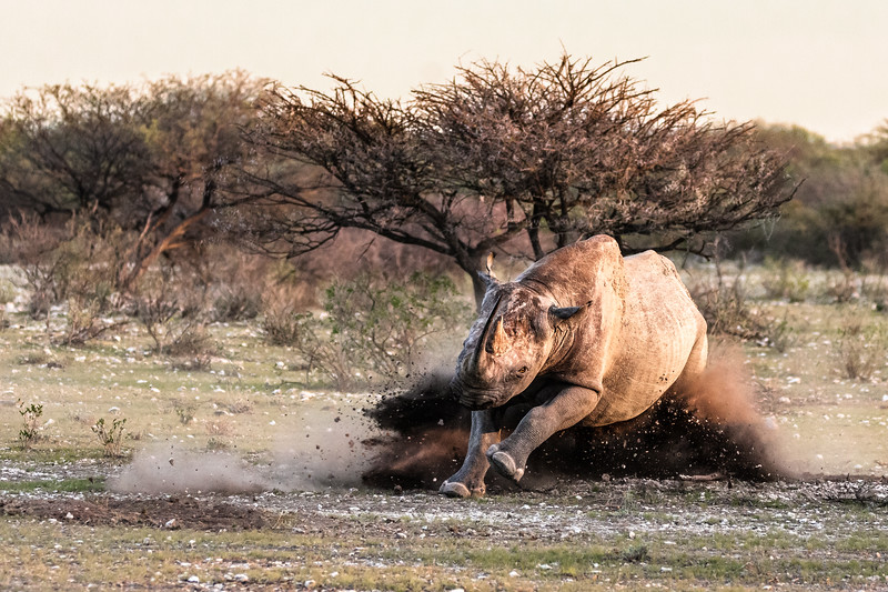 A young black rhino plows dust and earth aside as he charges a rival.