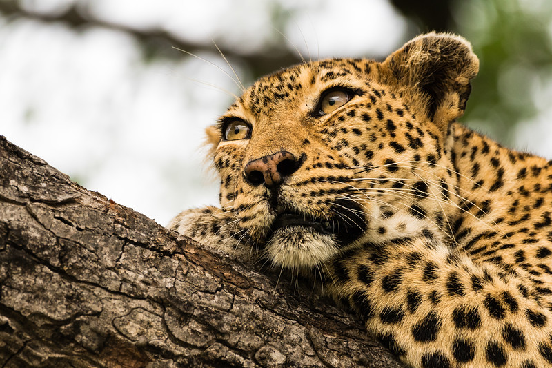 Perched in a high tree, a leopard awaits the fall of dusk in Kruger NP.