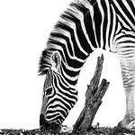 A zebra grazes under Etosha's blazing sun.