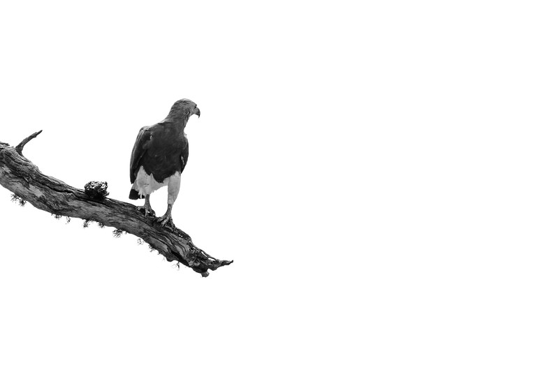 A grey-headed fish eagle perches on a mossy branch in Yala NP, Sri Lanka.