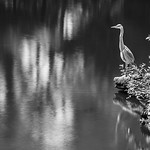 A grey heron scans for prey in the tranquil pools of Kyoto's Imperial Palace grounds.