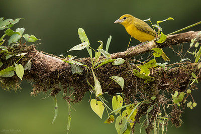 Summer Tanager ♀