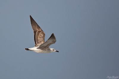 Heuglin's or Steppe Gull