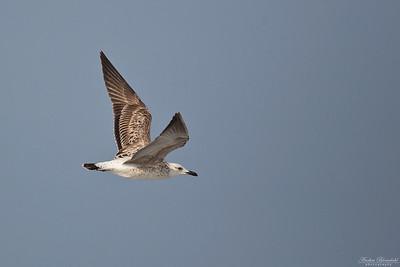 Heuglin's or Steppe Gull