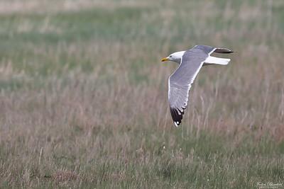Steppe Gull