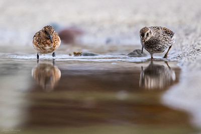 Sanderling & Purple Sandpiper