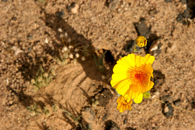 Desert Flower - Amboy Lava Fields - 2009