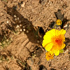 Desert Flower - Amboy Lava Fields - 2009