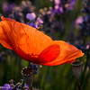 Poppy in a Lavender field