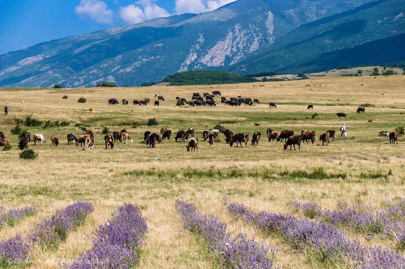 Lavender field and a buffalo herd