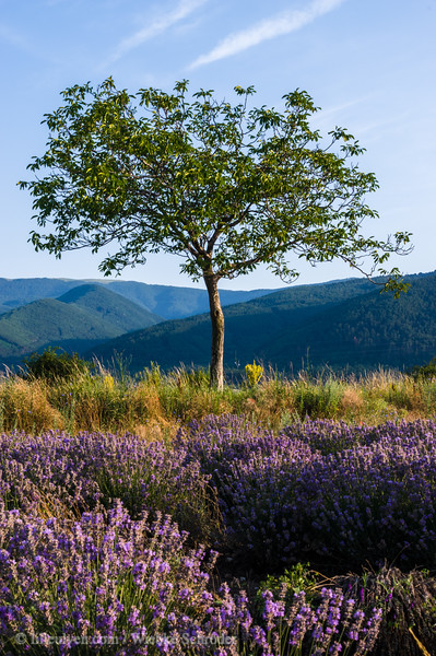 Early morning in the Lavender