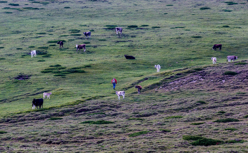 Cattle in the Central Balkan Mountains