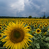 Sunflower fields in Gradishte