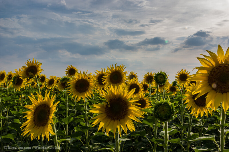 Sunflowerfields in Resen near Hotnitsa