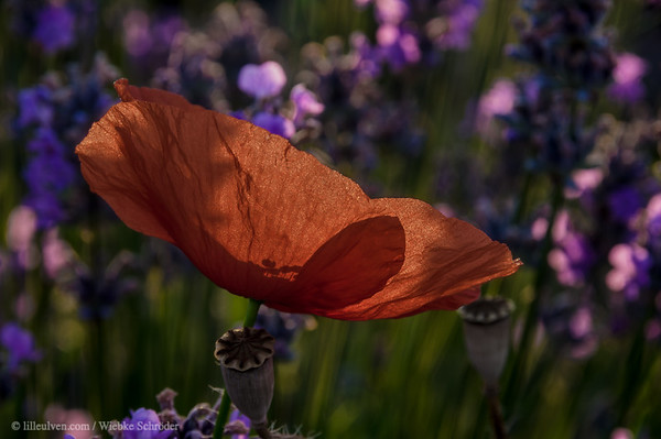 Poppies in the Lavender field