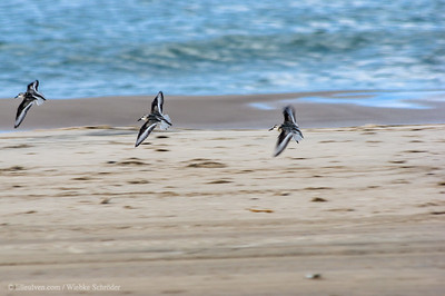 Sandpiper on the beach of Tversted