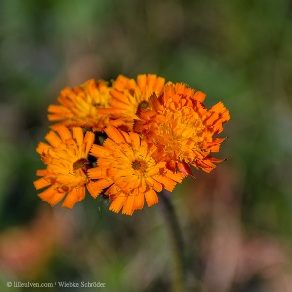 Common Marigold - Calendula officinalis