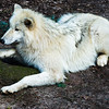 Hudson Bay Wolf (Canis lupus hudsonicus)