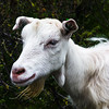 Norwegian goat