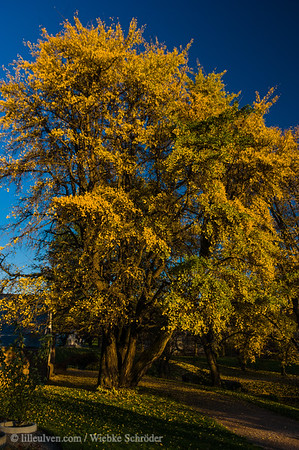 Ginkgotree in the botanical garden of Oslo