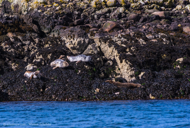 Seal colony on Sgeir Dhonn (Brown Rock)
