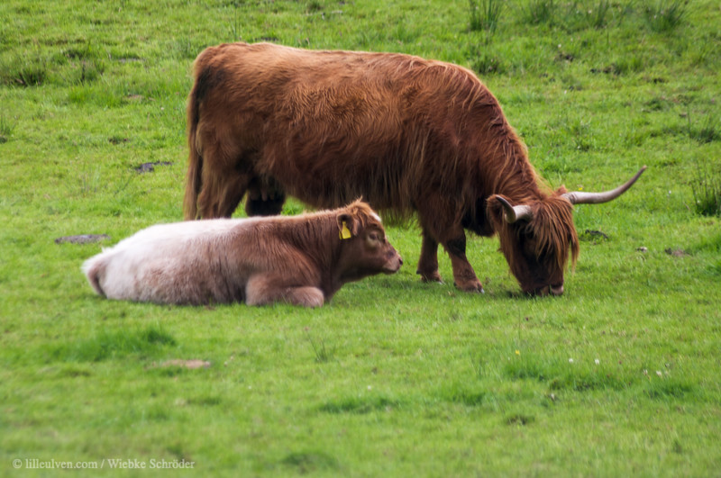 Highland cattle in Lochawe