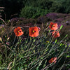 Common Poppy (Papaver roheas) - near Gairloch