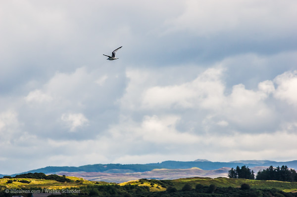 Seagull over Lismore