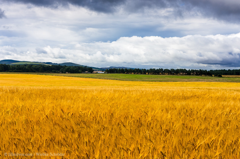 Fields of Gold - Angus, Scotland