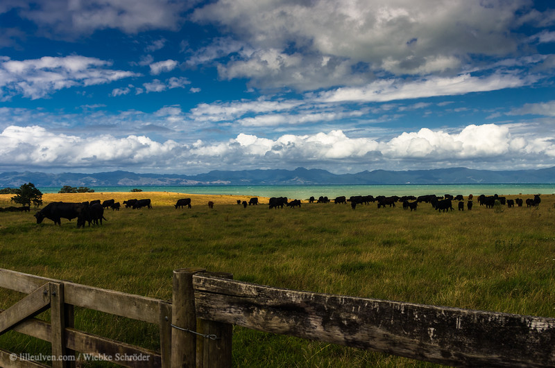 Cattle at Orere Point along the way toward Te Aroha
