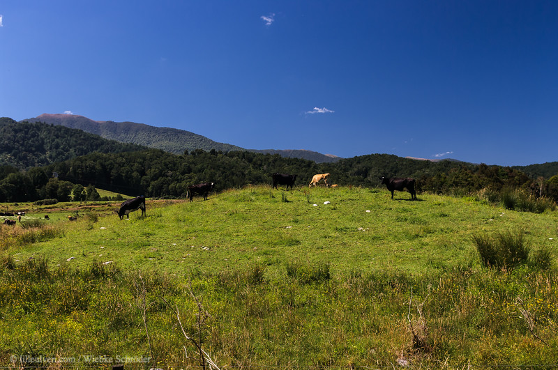 Cattle in a line