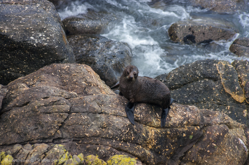 Brown fur seal at Cape Foulwind