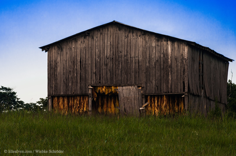 Barn filled with tobacco