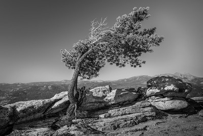 Yosemite - Sentinel Dome tree