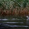 Härkälintu   Gråhakedopping   Red-necked grebe