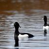 Tukkasota- Vigg- Tufted duck