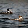 Isokoskelot kalastavat -  Storskrakar fiskar-  Goosanders fishing