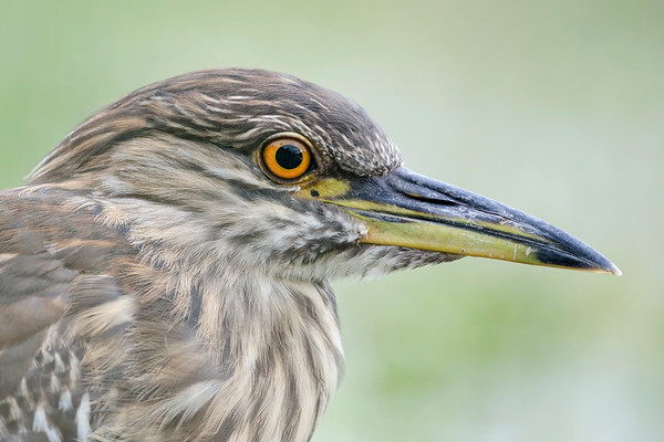 Juvenile Black-crowned Night Heron Portrait