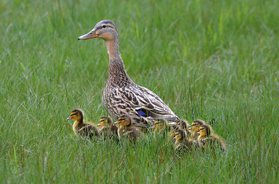 Mallard and Chicks