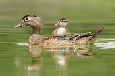Mother and Baby Wood Duck