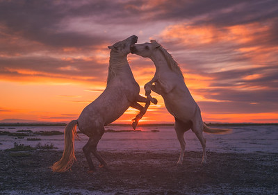 The play of stallions