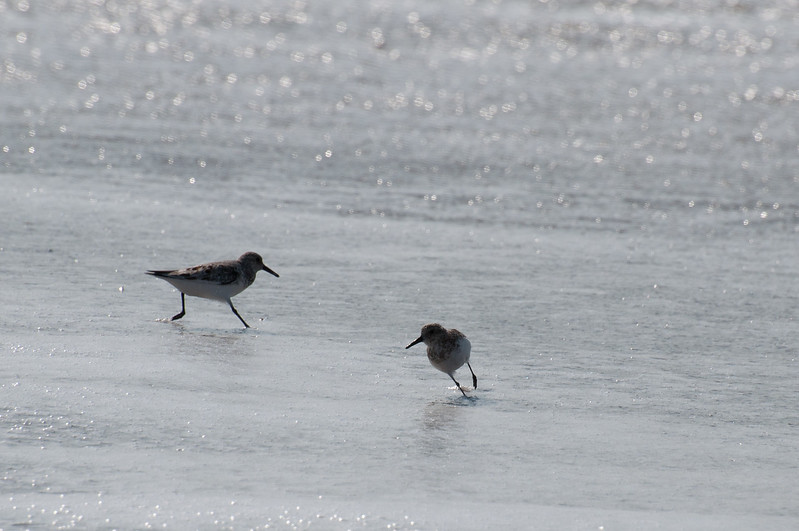 Sandpipers In The Surf - Fort Fisher, NC<br /> best print size - 8x12 or 12x18