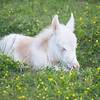 Foal in the Flowers - Grayson Highlands<br /> best print size - all