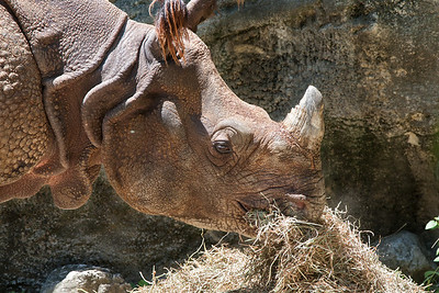 Feeding time, Indian Rhino
