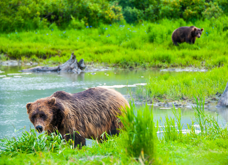 Grizzly Bears in Alaska Sanctuary