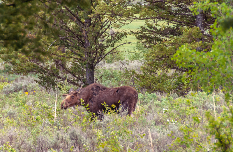 Male Moose Spring Snacking