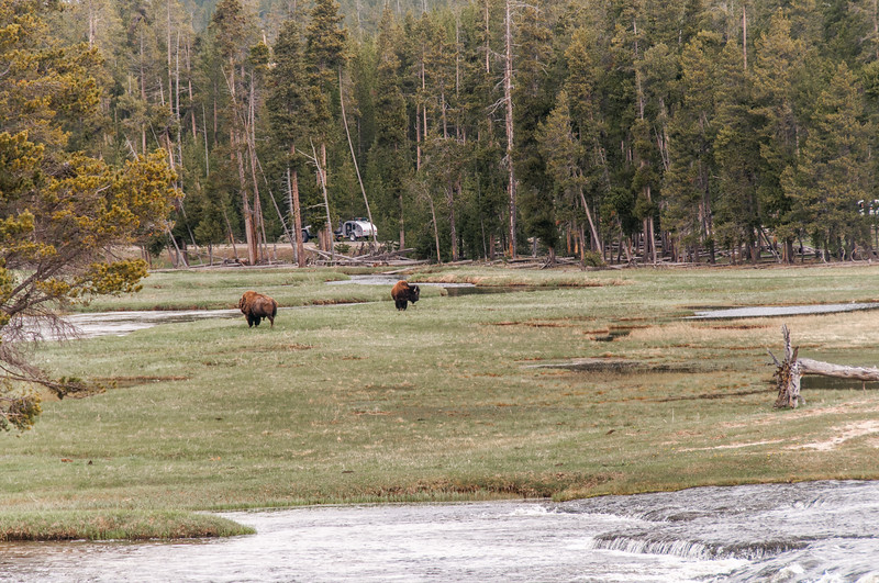 Bison walking near Yellowstone River in Yellowstone National Park